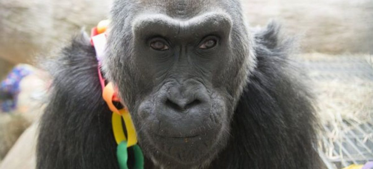 Colo, the oldest gorilla in captivity, dies aged 60