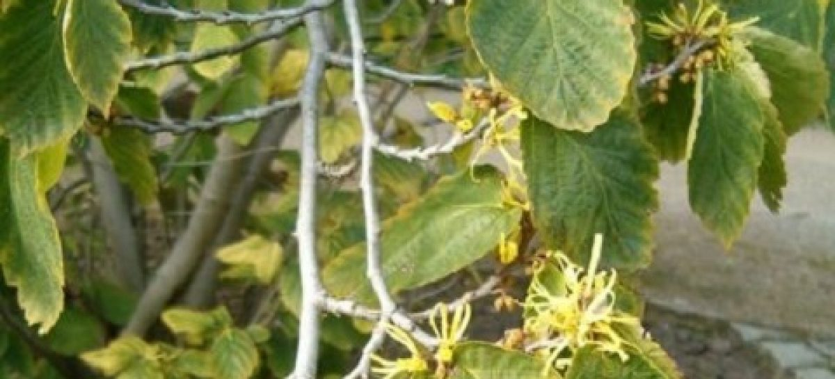 Witch Hazel uses and health benefits