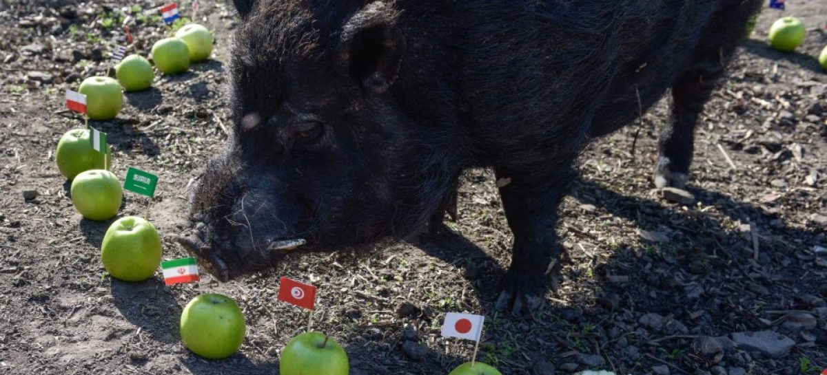 Super Eagles And Marcus The Pig At The World Cup By Reuben Abati